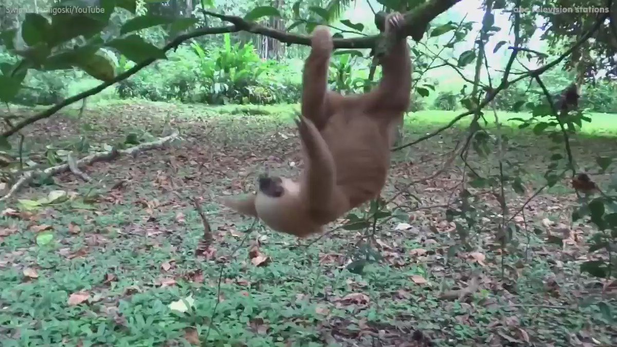 Sloth climbs tree with ease after being rescued
