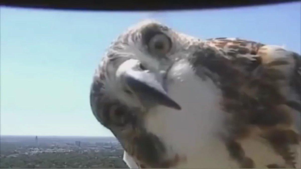 Hawk caught on camera chatting it up