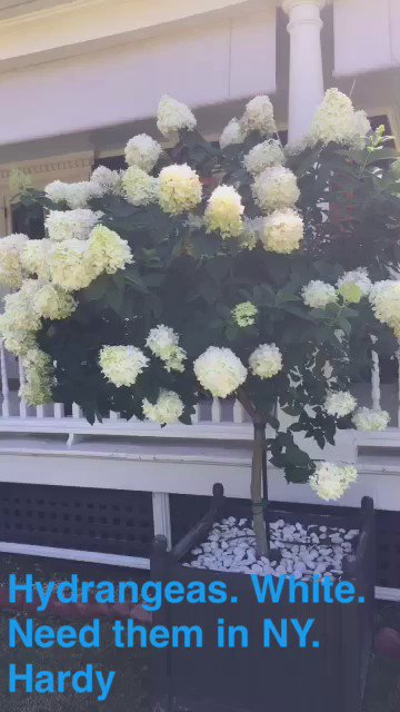 PeeGee? limelights highlights. What kind of #hydrangea!? Love em. Always have. You guys know? https://t.co/9TFir1el8H