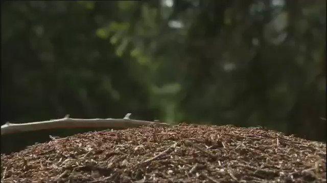 RT @HaMMoD71: شاهد كيف يرش نمل الخشب حمض الفورميك #فيديو https://t.co/lK10kkqXDO