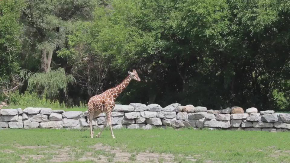 HAPPY FAMILY: The @DetroitZoo introduced 18-day-old giraffe calf Zawadi to her mom and dad.