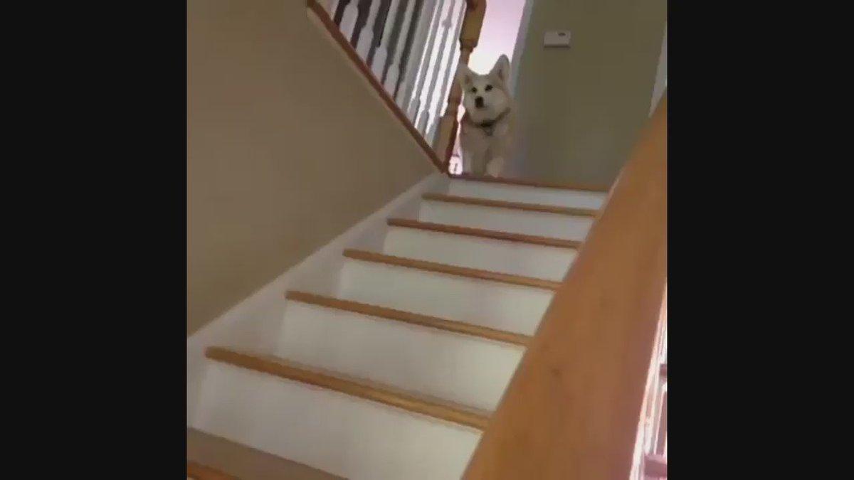 コーギーの階段が降り方がかわいい✨