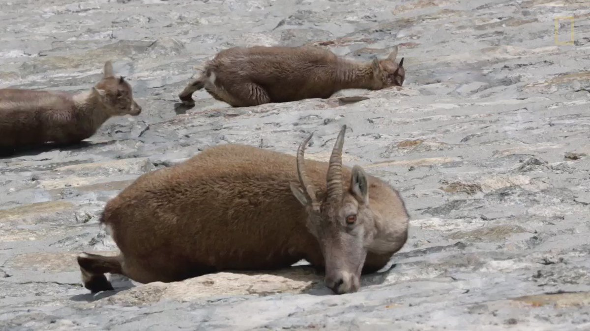 The Alpine ibex is able to climb a near-vertical rock face, but why does it?