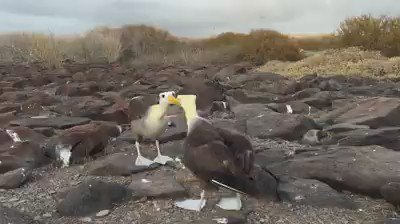 Love is in the air! The dance of the waved albatross, shot by our CEO @SvenLEX recently in Galápagos. https://t.co/8rrqBnhcmU