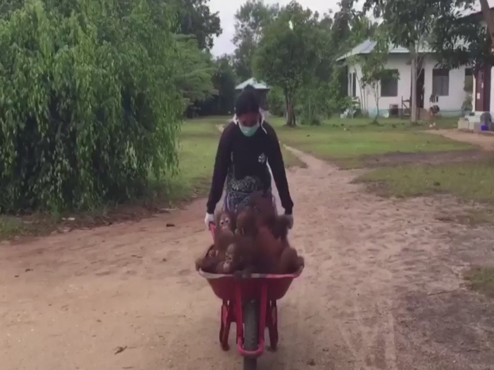 These baby orangutans are headed to their first day of school