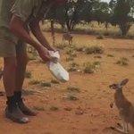 実はちょろかった?カンガルーを捕まえる超簡単な方法!