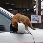 すご技を披露しようとするも失敗してしまう猫!その後の誤魔化し方があざとすぎる!