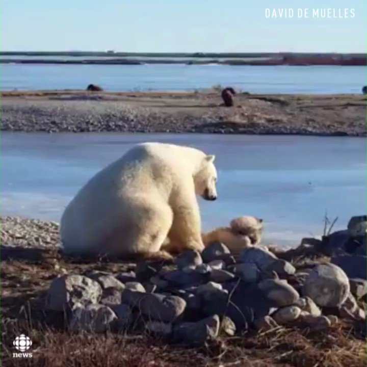 Watch this giant polar bear pet a dog on its head in Churchill, Manitoba https://t.co/b2mt1tG6Gm