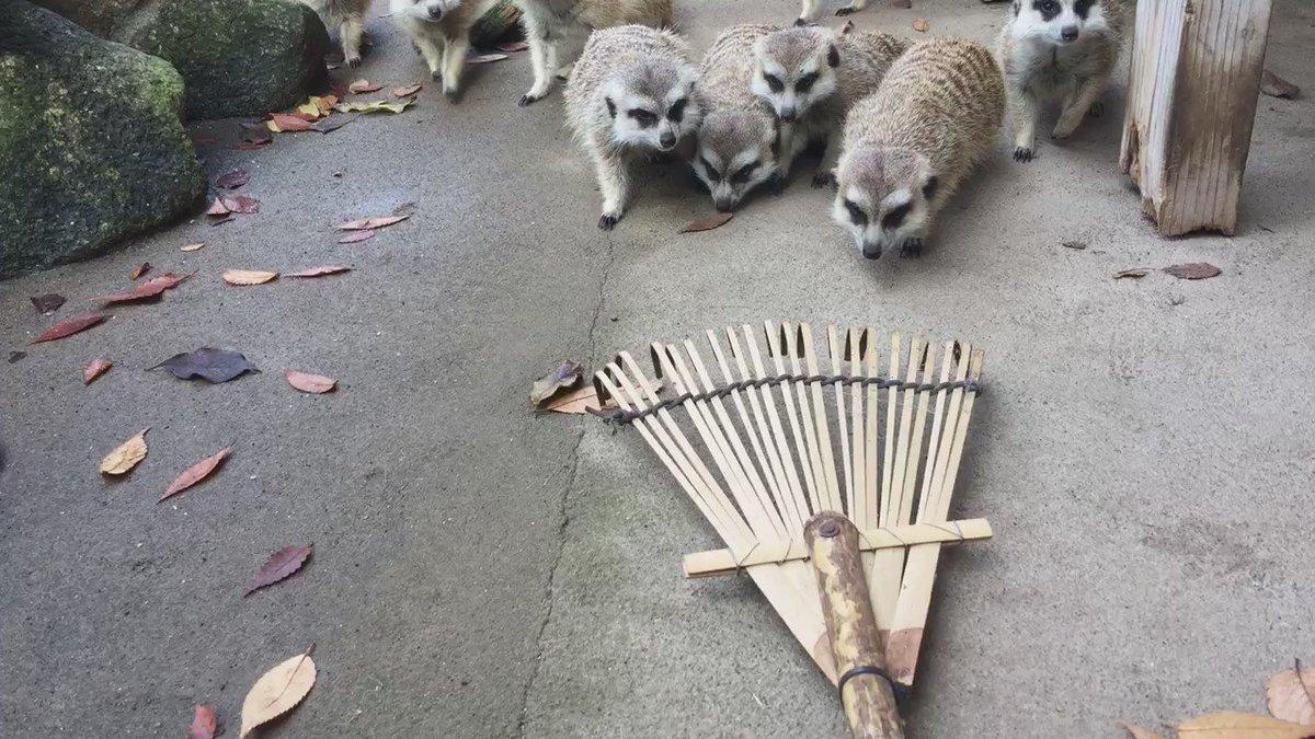 初対決❗️ミーアvsくまで #市川市動植物園  #ミーアキャット