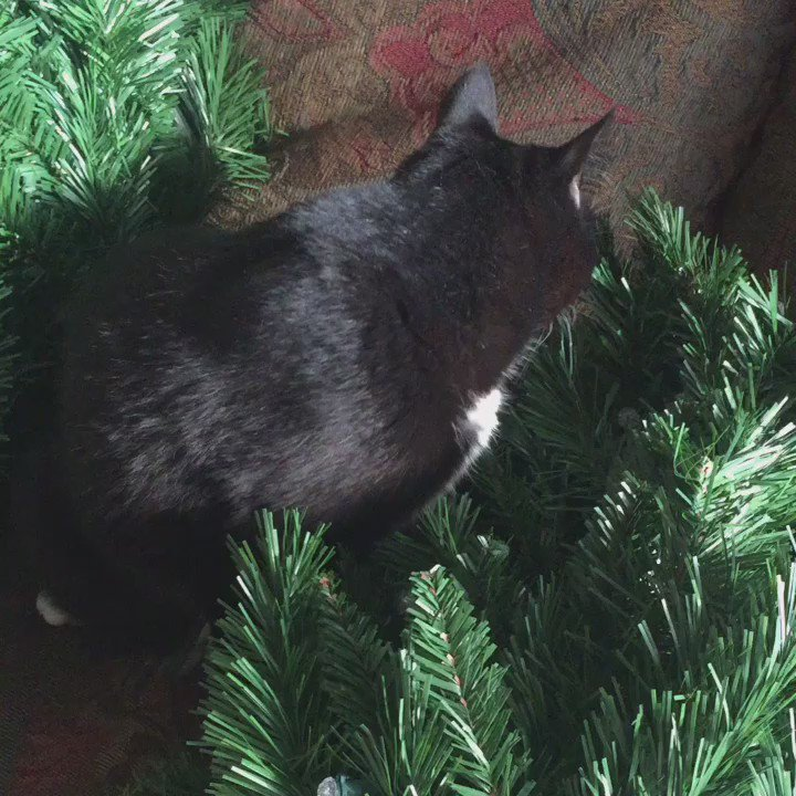 File this under things I didn't think I'd be saying today... #ChristmasTree #cat @phendrana @RavenSmyth https://t.co/QBDi65veyH