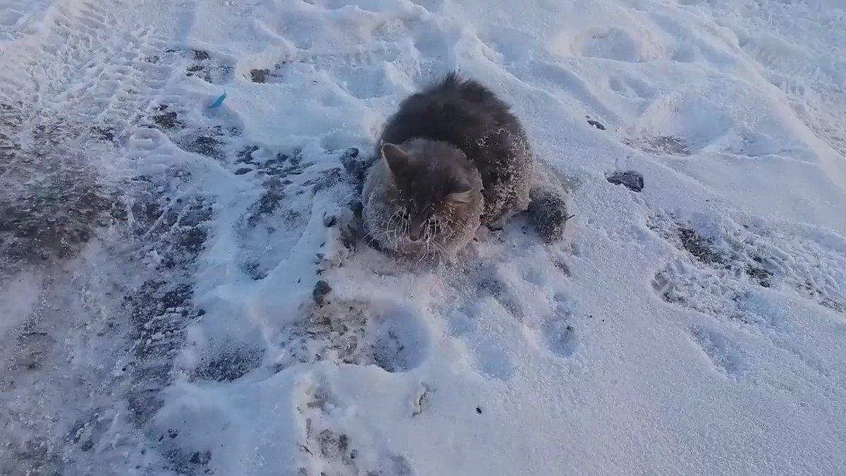 #РИА_Видео Операция по спасению котика: в Златоусте животное примерзло к земле в минус 35