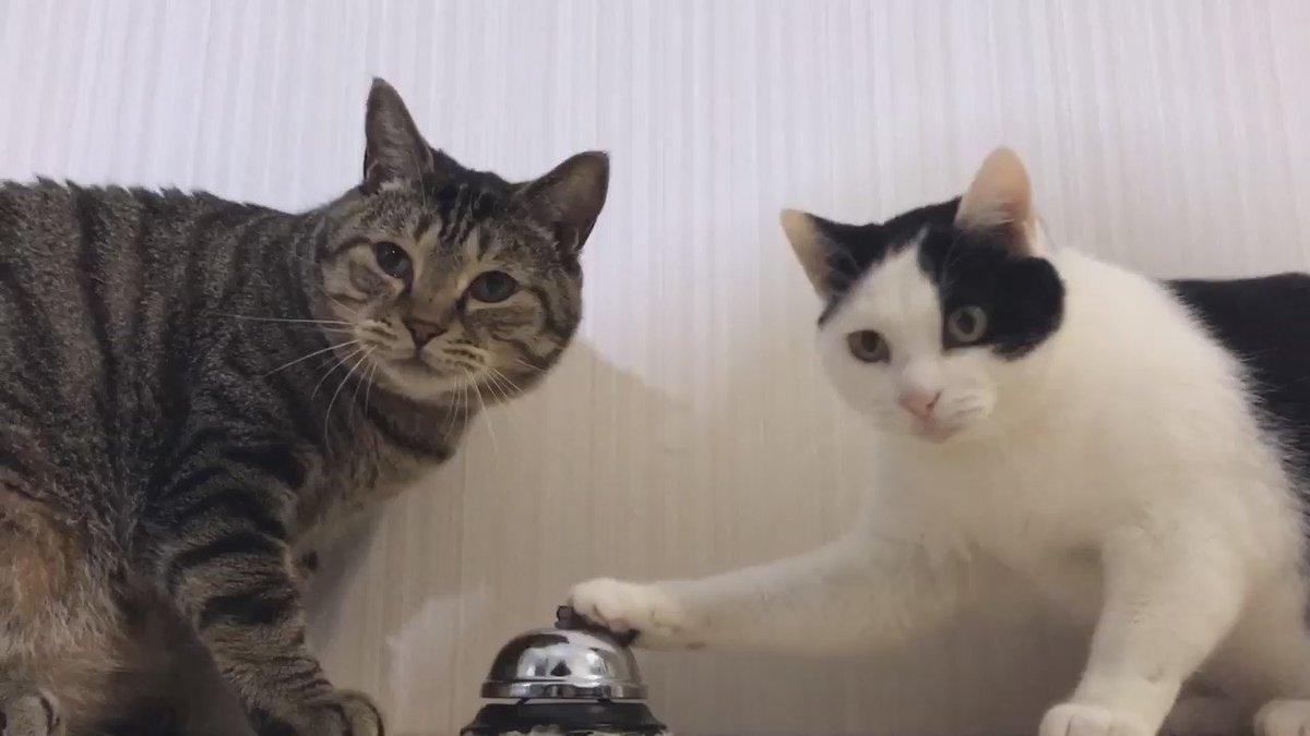 店員の対応が遅いとすごい勢いで呼び鈴を連打してくる猫様たち pic.twitter.com/53O548J8Lr