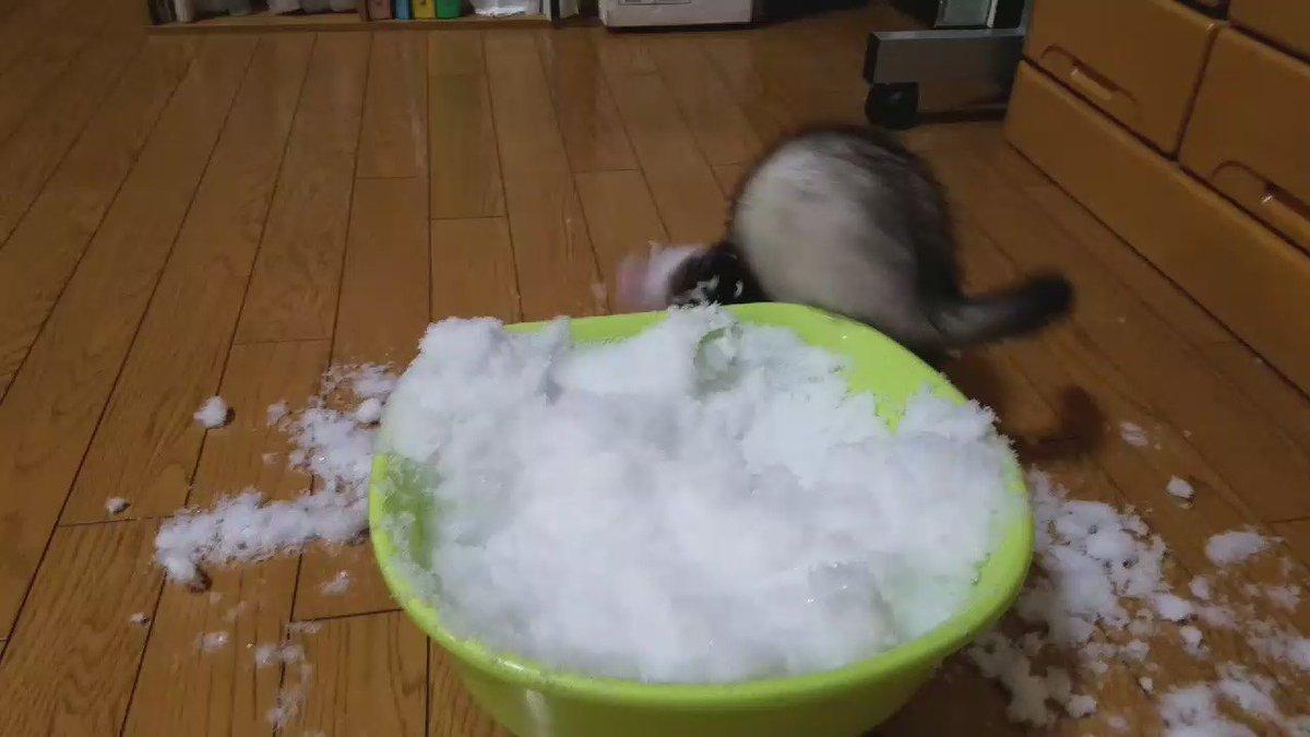 第4回『大雪だよ!!大はしゃぎ大会』の様子です←#フェレット pic.twitter.com/DsrCOkIoeJ
