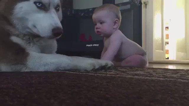 触りたいけど手が届かない赤ちゃん。  そこでハスキー犬が取った行動✨
