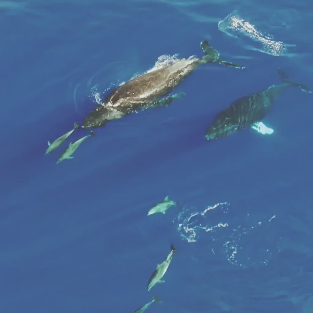 And the most popular post of 2016 goes to…Uheheu's video of humpback whales and #dolphins swimming in #Hawaii! https://t.co/HjTdG6O64O