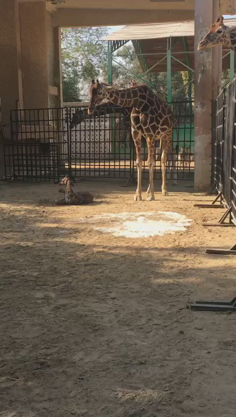 A giraffe was born at the Kuwait Zoo today https://t.co/23yw3UseIx