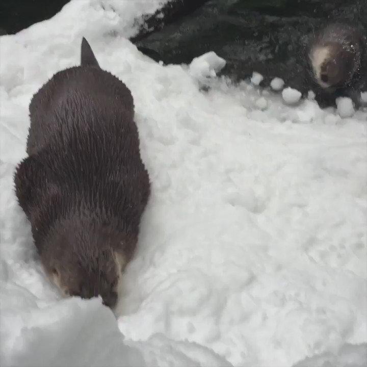 Tilly and B.C. seem to be otterly enjoying all this ❄️ https://t.co/sKbbSxq1xs