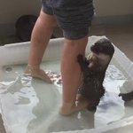 主人と一緒に足湯に入るカワウソが可愛すぎる