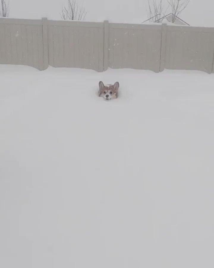 【コーギー犬】雪からほぼ顔しか出ていない。それでも前進してる。