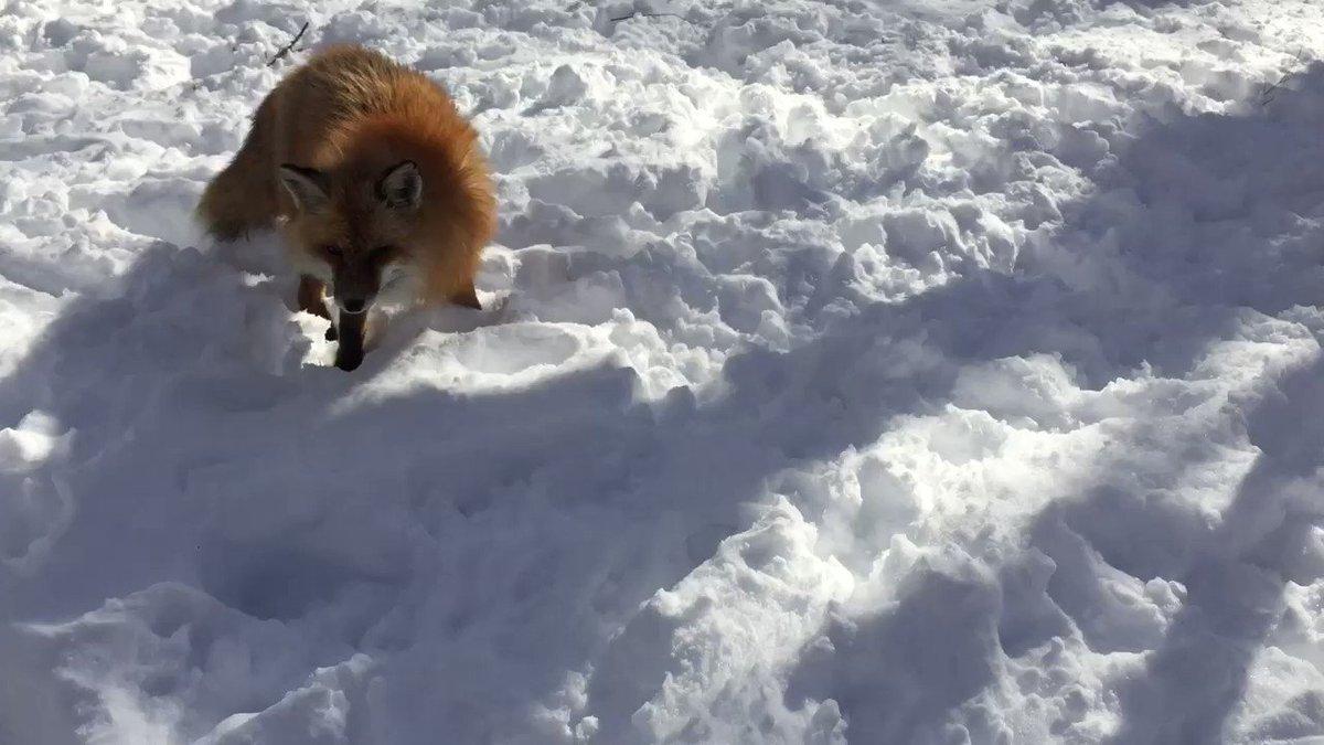 キツネ村。雪で遊んでる子も見かけました。可愛かったなー! https://t.co/N3njS5DgoI
