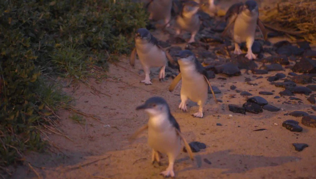 It's #PenguinAwarenessDay! Here's some little penguin waddling action...