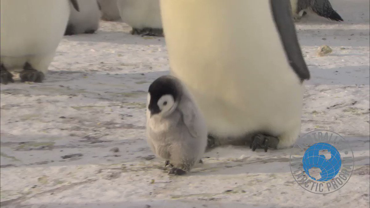 A final fix of Emperor penguins to end #PenguinAwarenessDay https://t....