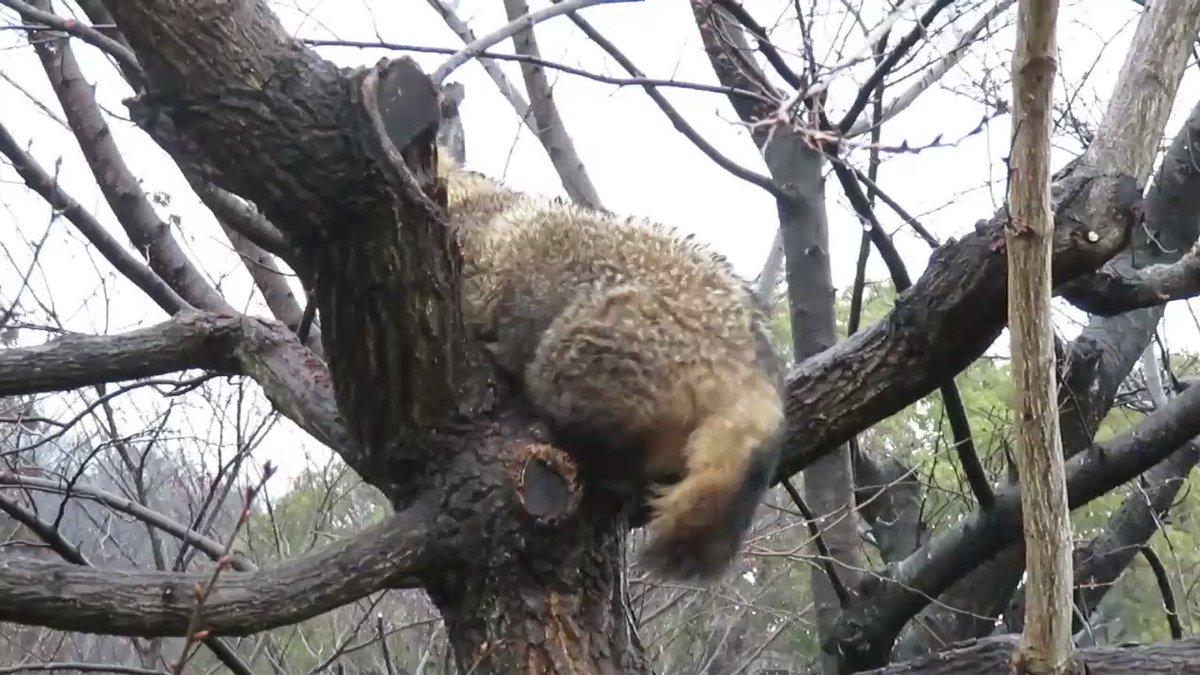 タヌキが木から降りる一部始終 pic.twitter.com/VaO5B0WuO5