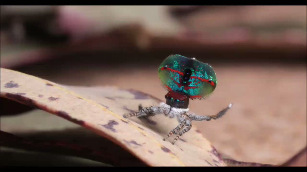 Jumping spider dance gif