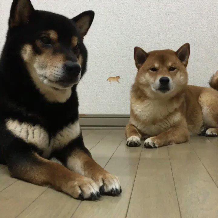 音量ONにしてご覧ください。#柴犬 #shiba pic.twitter.com/JEkczbCG6S