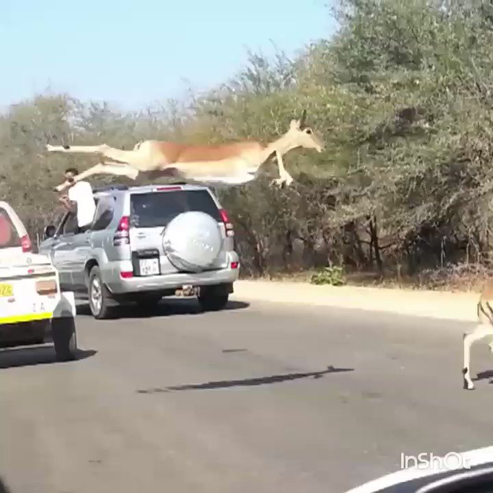 Leaping  Impalas  of course...  🦌  #Sund...