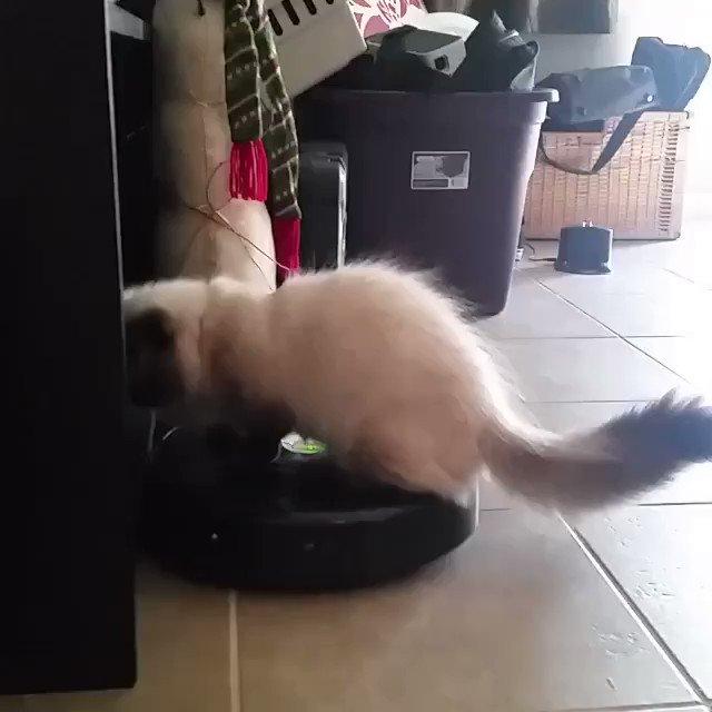猫のルンバサーフィン。もはや見慣れた光景。。。  #ルンバサーフィン #ルンバ #ロボット掃除機 #ねこ部 #猫好き #ねこ #roomba...