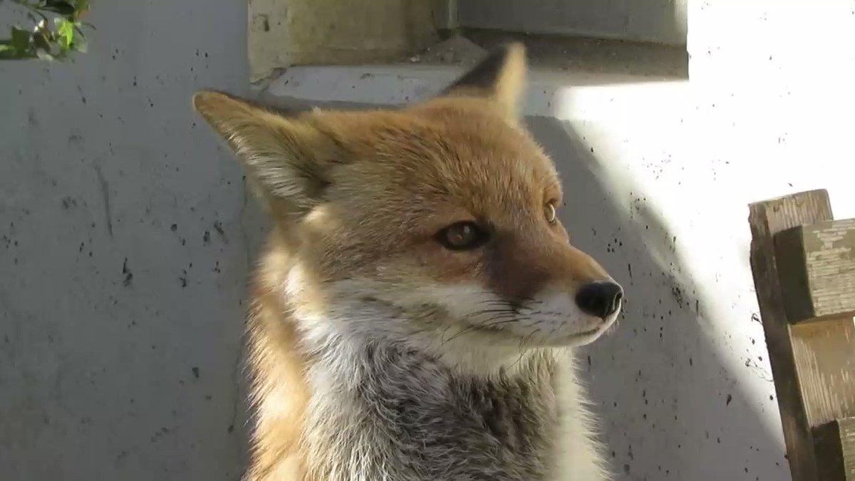 やはり狐耳の挙動は大変重要 pic.twitter.com/ppYliKQZim