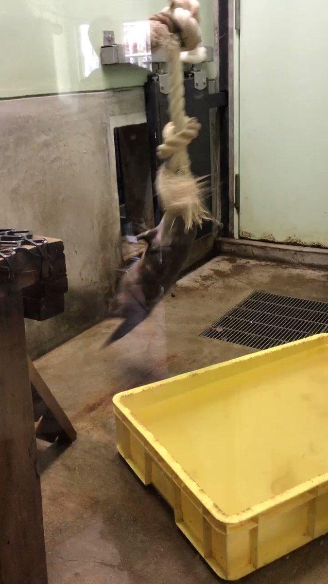 けものフレンズに感化されて動物園に来たのだけど、コツメカワウソさんが想像してたのとだいぶ違う動きしてた。 pic.twitter.com/A3pVCL7AQb