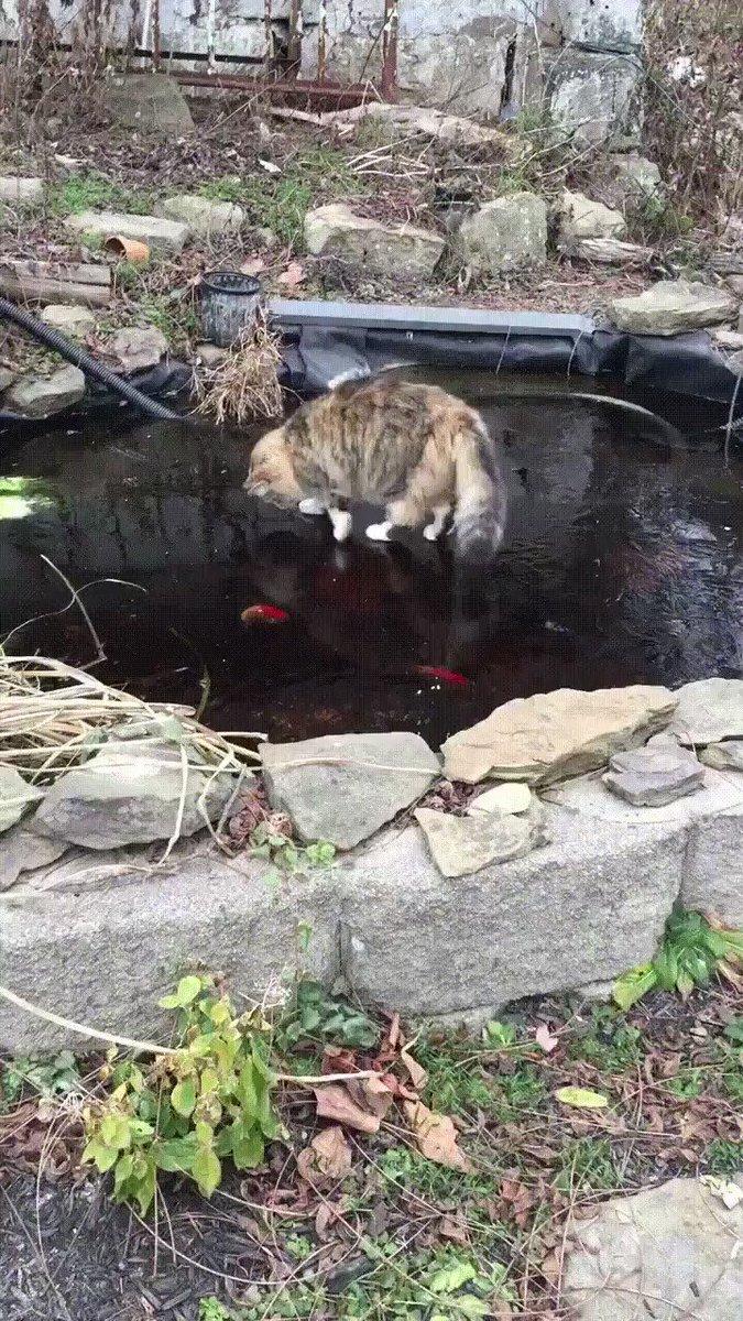 凍った池の金魚を追う猫🐈 寒さと春が来る感じある。
