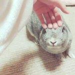 撫でるのをやめた瞬間、ショックを隠しきれないウサギが最高!