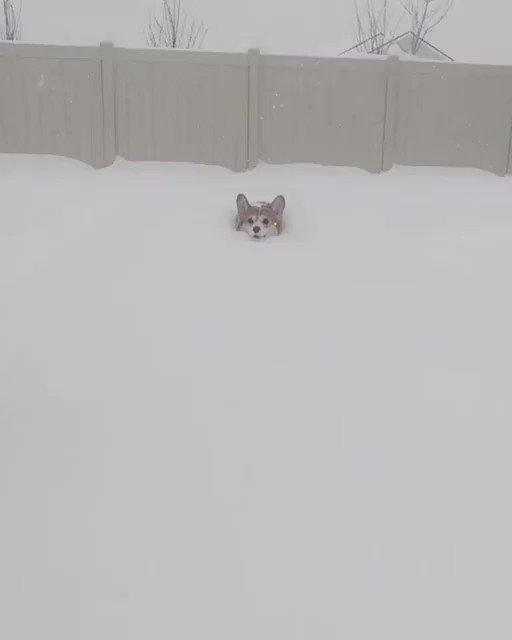 雪の中走ってくるコーギー癒し動画!