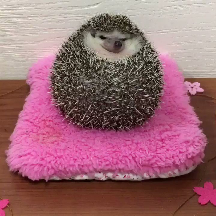 Little hedgehog rolls off a pink pillow to save your Monday