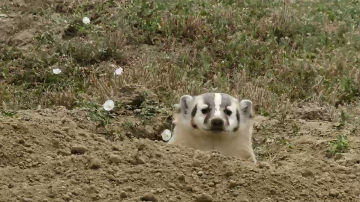 Dig for victory: a badger buried a whole cow so it could eat steak for a month https://t.co/fxJwpObwKG https://t.co/qhHhTaSKbU