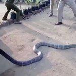水不足で困っているのは動物も一緒!人間から水を貰うキングコブラ