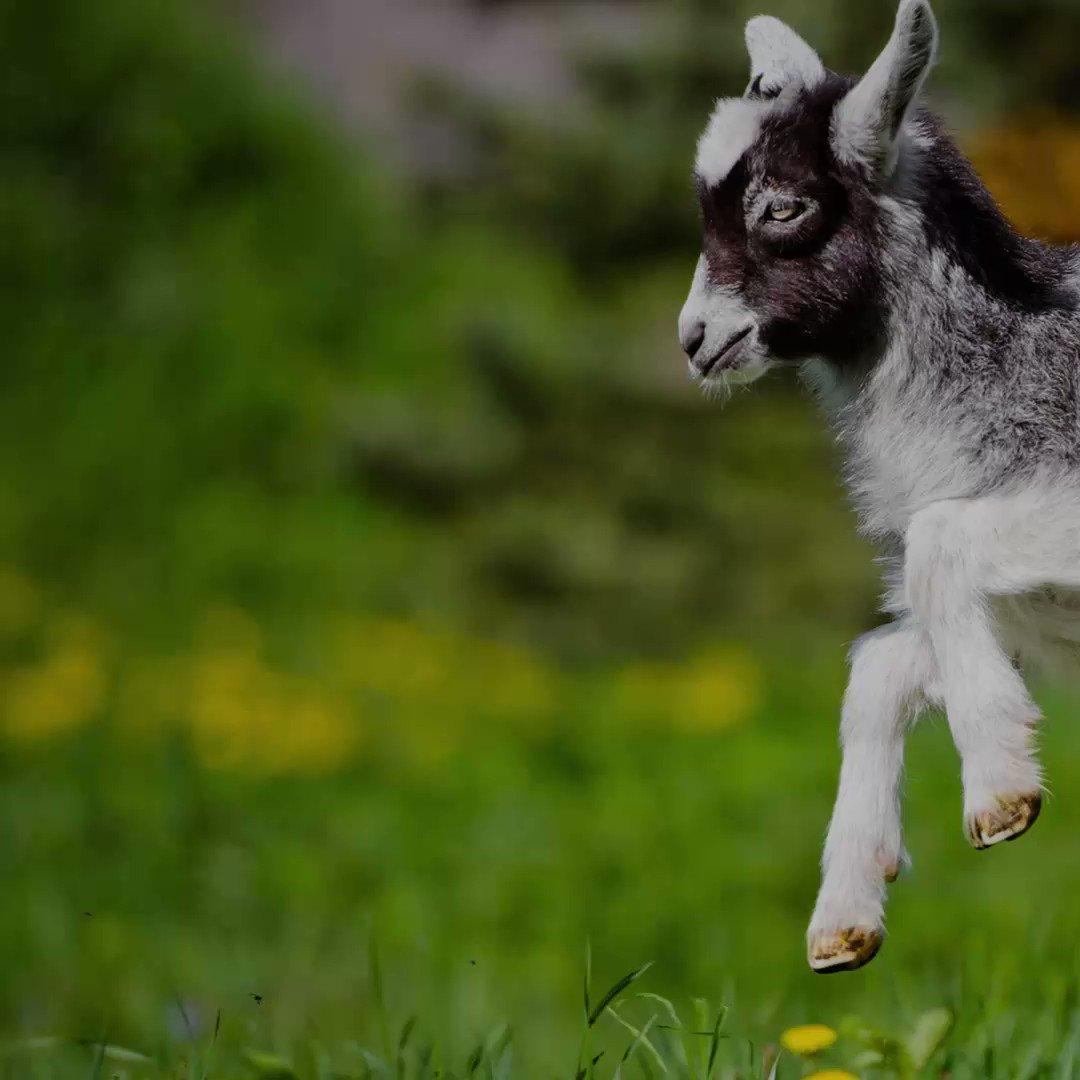 RT @TBWAChiatLA: The goat #yoga craze spreads to #Amsterdam. #backslashtbwa More info: https://t.co/Mq3Cs1NEHM https://t.co/hKlWHFmtQW