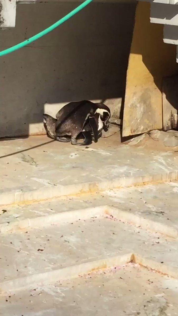 ペンギンを見に行ったら、昼ドラのようなすごい修羅場に遭遇してしまった。そしてオチ。#羽村市動物公園 #フンボルトペンギン pic.twitter.com/mPrSzwqXmr