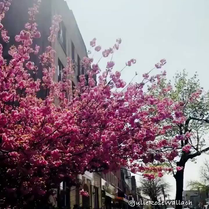 Spring is here! Look at this #CherryBlossom beauty.  #NYC #Spring #CherryBlossomTree pic.twitter.com/aFsx0yXfVS