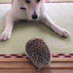 謎の攻防戦wびびり犬とマイペースはりねずみがかわいい