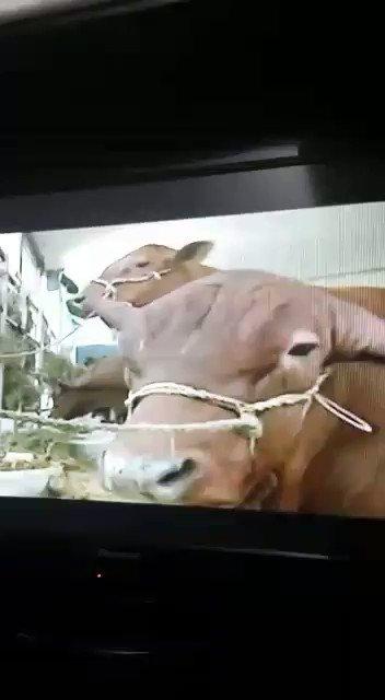 Esto es real. Es Maduro hablando con las vacas. Les pregunta si quieren guarimba o Constituyente. https://t.co/lI3zjxVrMA