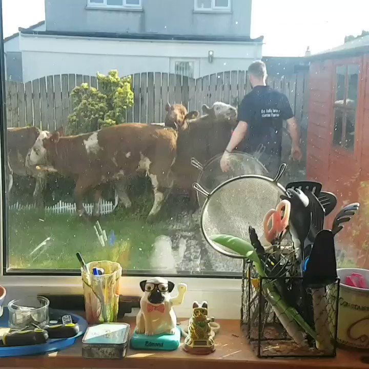 A herd of cows stampeding into this guy's garden is hilariously shocking