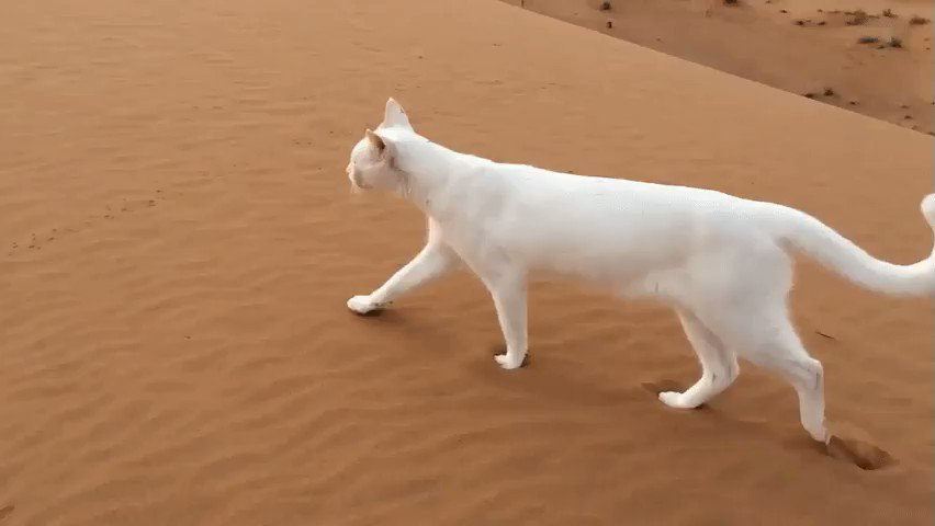 Today I learned a cat's rear paw will always follow the place their front paw has stepped