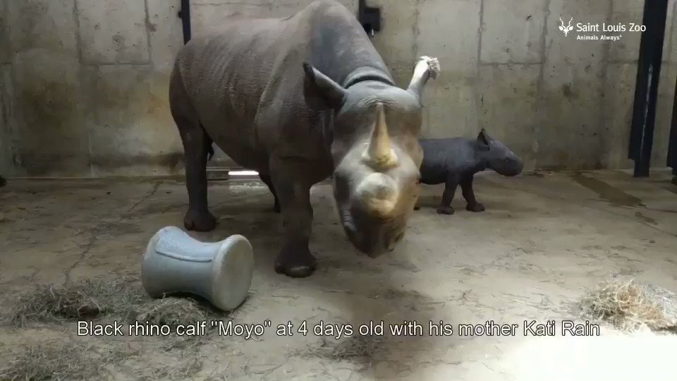 "We are proud to announce the birth of a male black rhinoceros calf, Moyo (which means ""heart"" in Swahili) on May 17. https://t.co/2kizX3edVA"