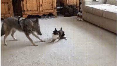 А ну подошёл сюда, волчара шерстяной!