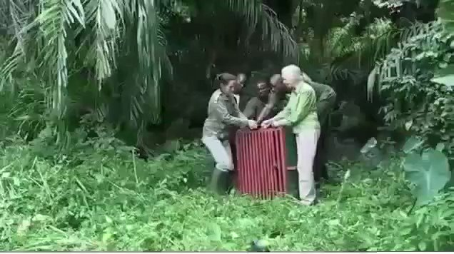 WATCH: Dr. Jane Goodall releases a chimp into the wild...wait for it....