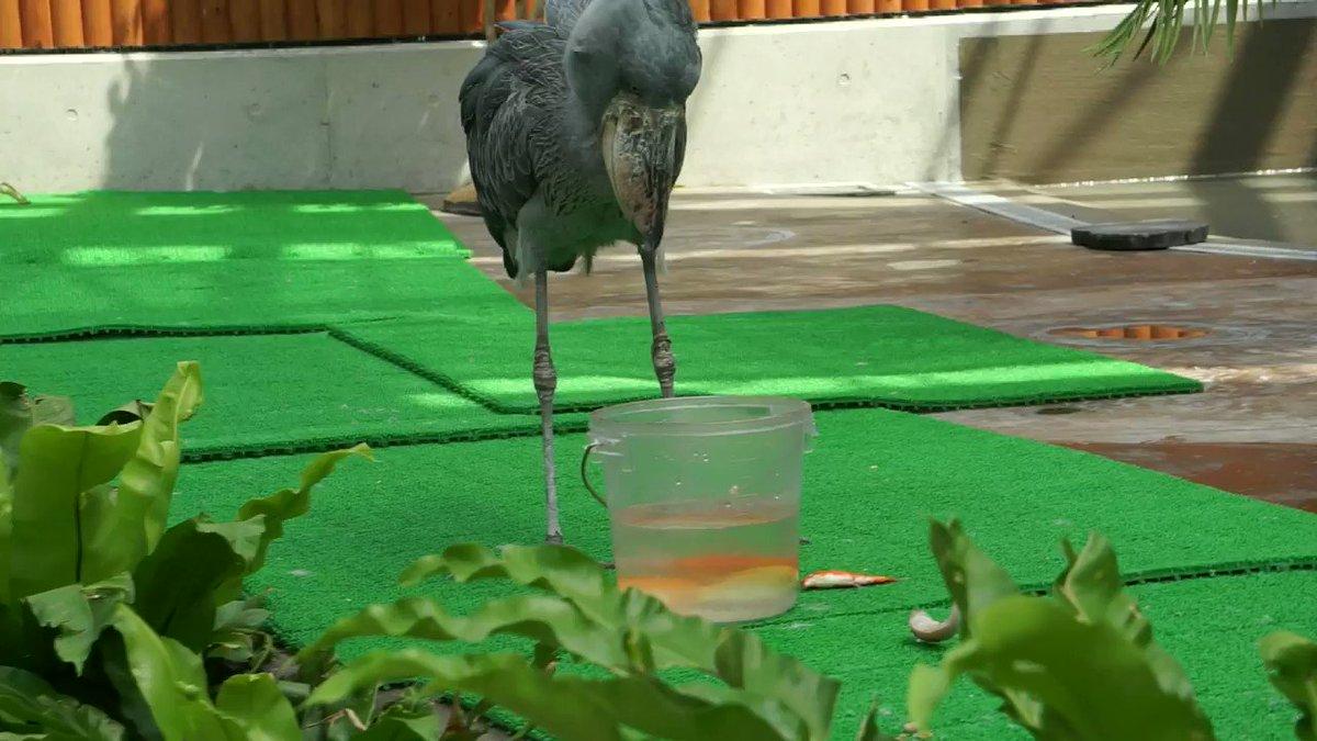 【朗報】餌食べるの下手くそすぎるハシビロコウさん可愛すぎる、衝撃の結末